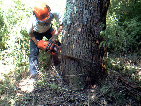 Tree felling in Alresford