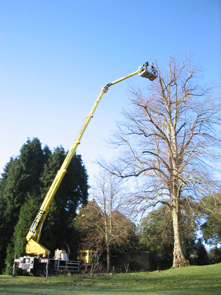 Crown reduction of a beech tree in Hambledon