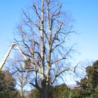 Crown reduction of a lime tree in Arundel