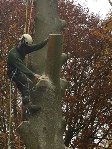 Tree felling Catherington