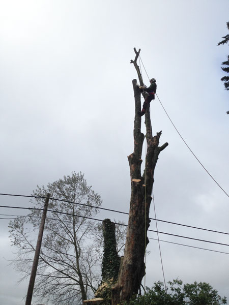 Tree felling in Denmead, close to telephone lines