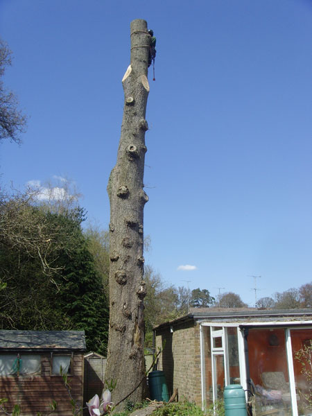 Tree felling in a restricted area, Emsworth
