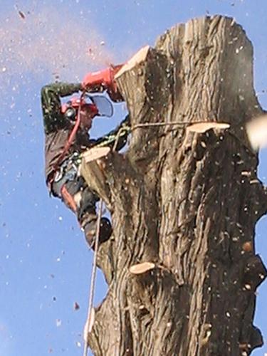 Tree felling Hambledon