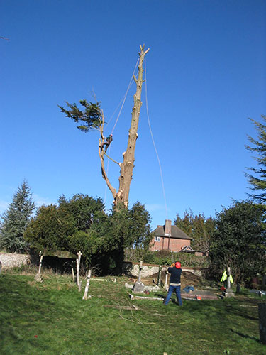 Tree felling Hambledon