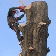 Tree felling in a local churchyard