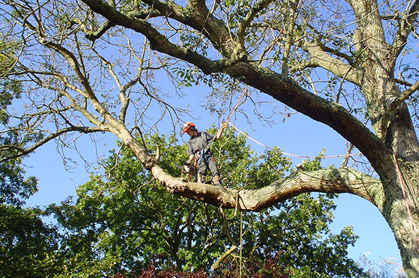 Tree felling in Titchfield