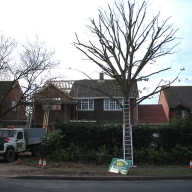 Crown reduction of an oak tree in Waltham Chase